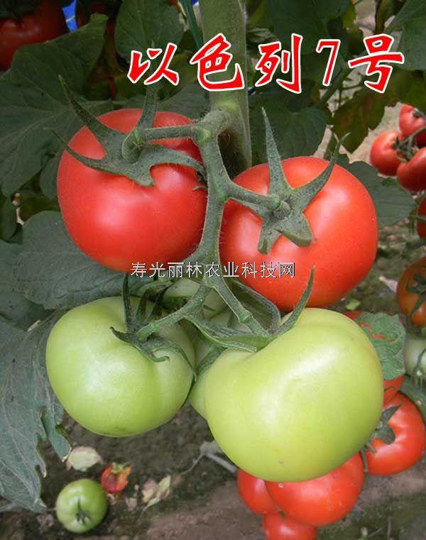 石头果大红番茄种子-以色列7号