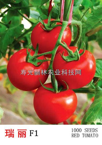 荷兰进口大红番茄种子-瑞丽大萼王-耐寒大红番茄种子