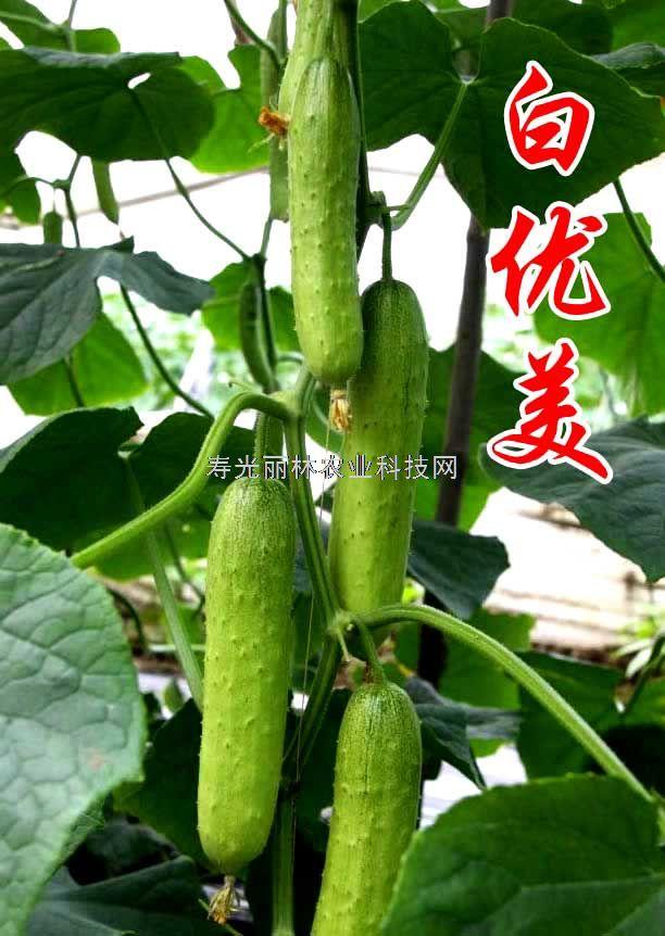 小青瓜种子-水果黄瓜种子-旱黄瓜种子-白优美