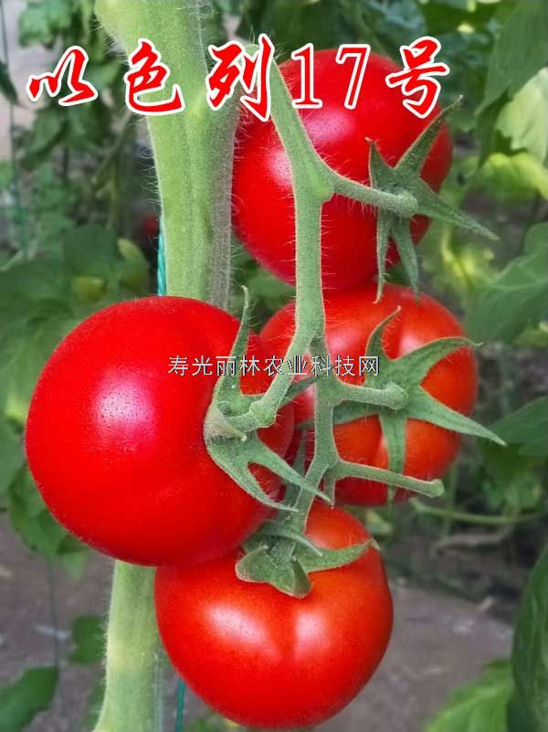 抗黄萎病大红番茄种子-以色列17号-抗青枯-抗死棵石头大红番茄种子
