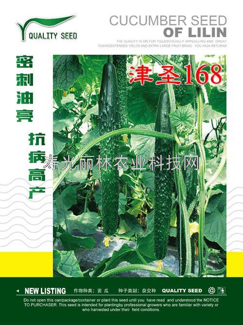 耐寒油亮黄瓜种子-津圣168-高产黄瓜种子