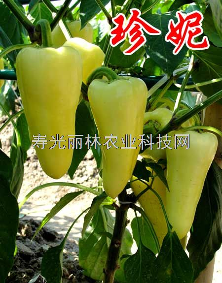 白色甜椒种子-珍妮