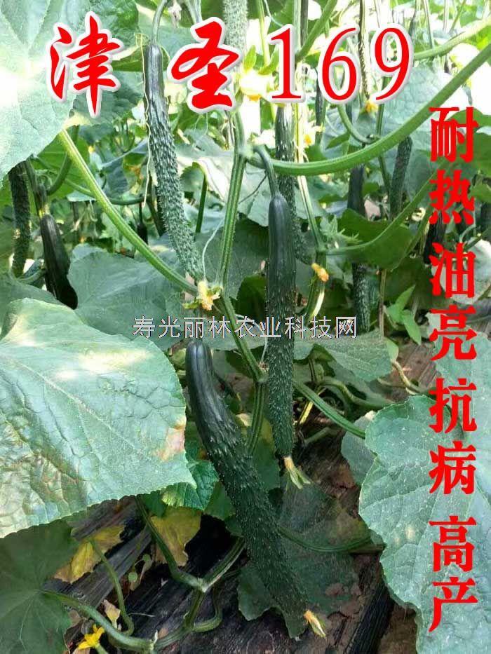 耐热油亮黄瓜种子-津圣169