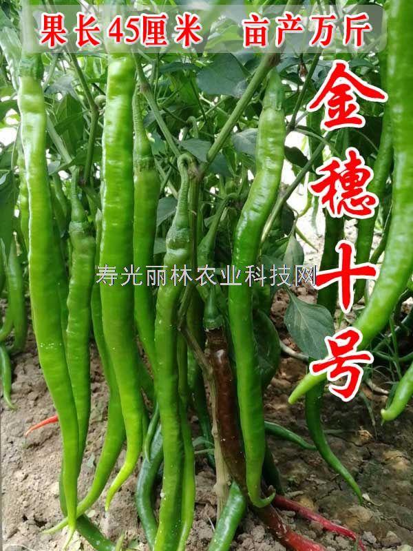 最长的线椒种子-特长线椒种子-长果可达45厘米-金穗10号线椒种子