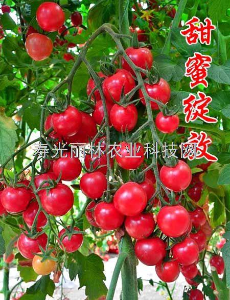 抗病毒口感小番茄种子-甜蜜绽放