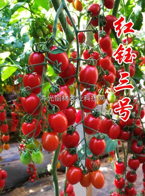 好吃的樱桃番茄种子-红钰三号-抗病毒口感佳樱桃番茄种子