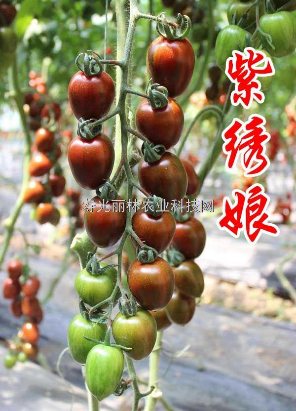 抗TY紫色樱桃番茄种子-紫绣娘-紫色口感番茄种子