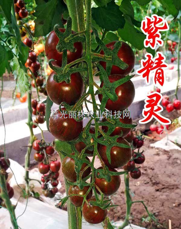 抗病毒紫色番茄种子-紫精灵-紫色口感番茄种子