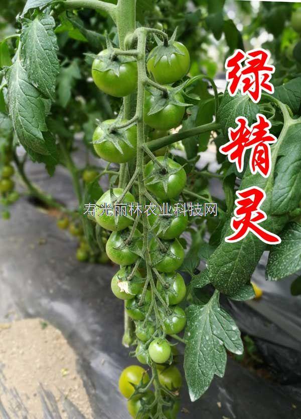绿色口感小番茄种子-绿精灵-绿宝石升级品种