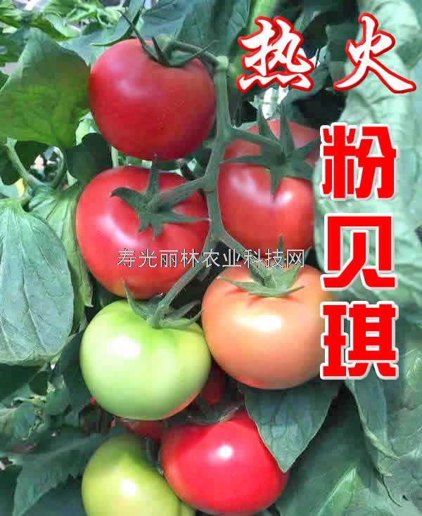 极耐热耐裂番茄种子-耐雨水耐裂粉果番茄种子-粉贝琪热火