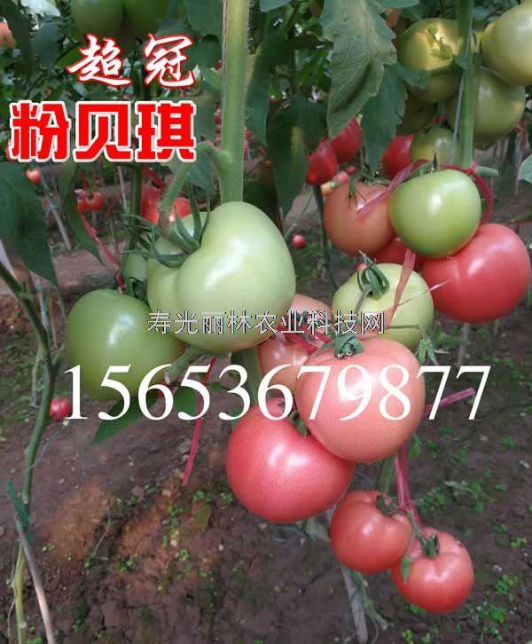 耐热硬粉果番茄种子