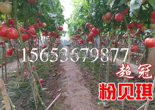 抗病毒粉果番茄种子