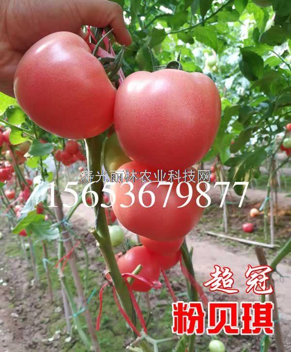 耐热耐裂硬粉果番茄种子-起沙口感好-抗病毒节间短-粉贝琪超冠