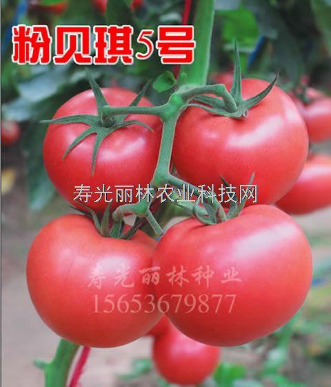 耐寒耐裂硬粉果番茄种子-抗ty病毒-抗死棵-抗线虫-粉贝琪5号