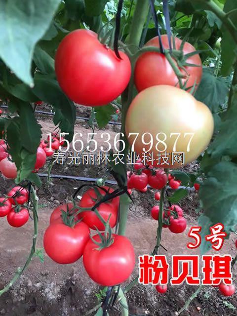抗死棵粉果番茄种子