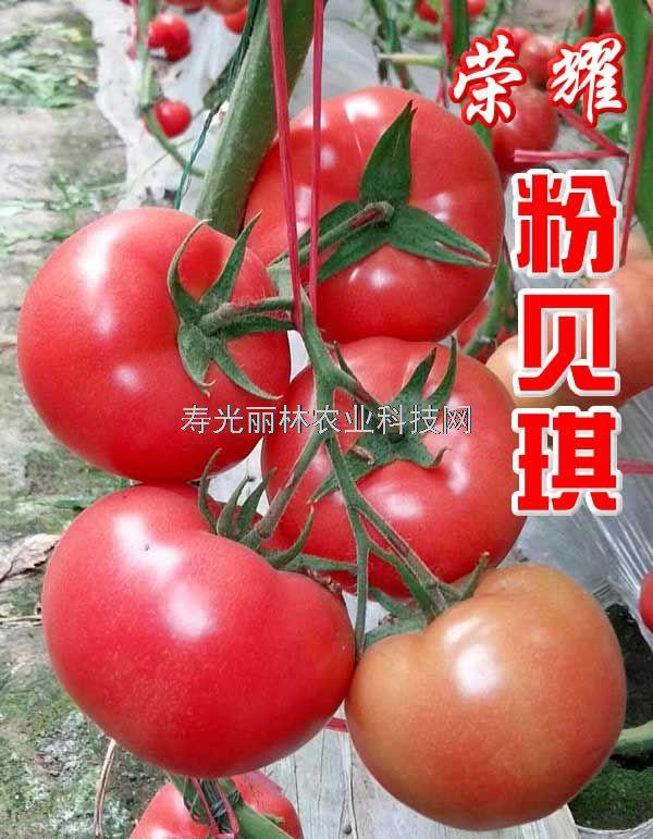 进口耐热粉果番茄种子-耐热硬粉大果番茄种子-耐热精品硬粉300克-粉贝琪荣耀