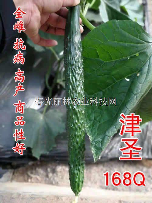 全雌黄瓜品种-耐寒黄瓜种子-全雌黄瓜种子-津圣168Q
