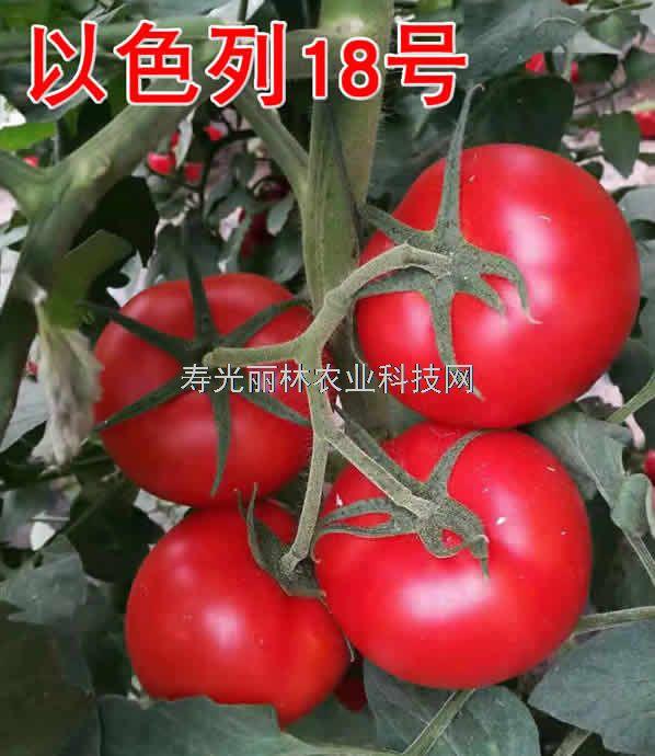 抗斑萎病毒病大红番茄种子-以色列18号-石头大红番茄种子