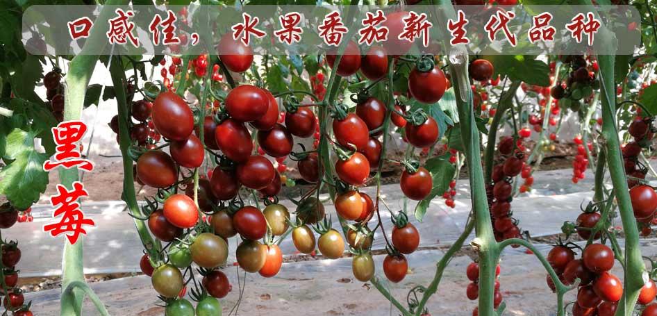 番茄全生育期施肥技术